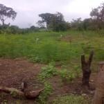 Copy of moringa aftica 5